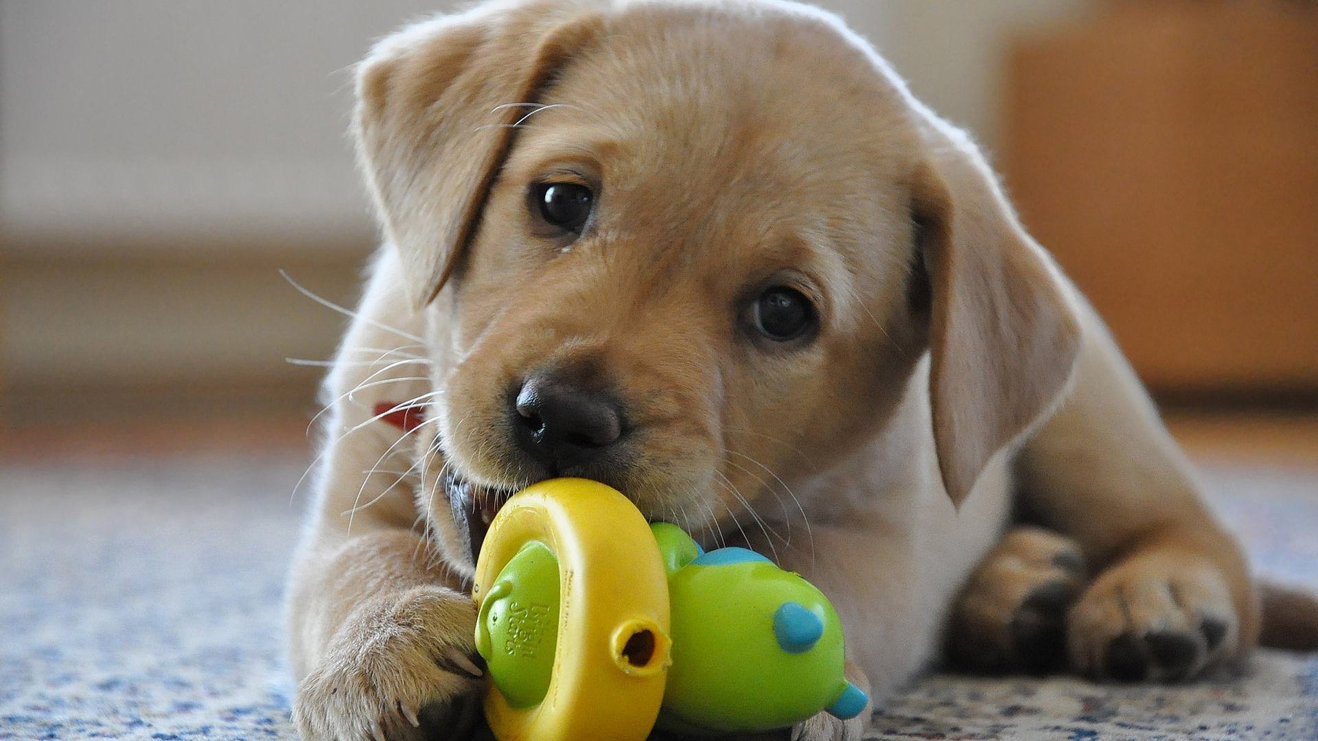 Ten Best Toys For Small Dogs & Puppies | DogOPedia | Best Dog Toys For Small Dogs