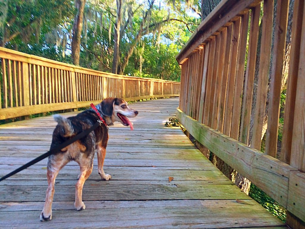 Walking Dog on lead training