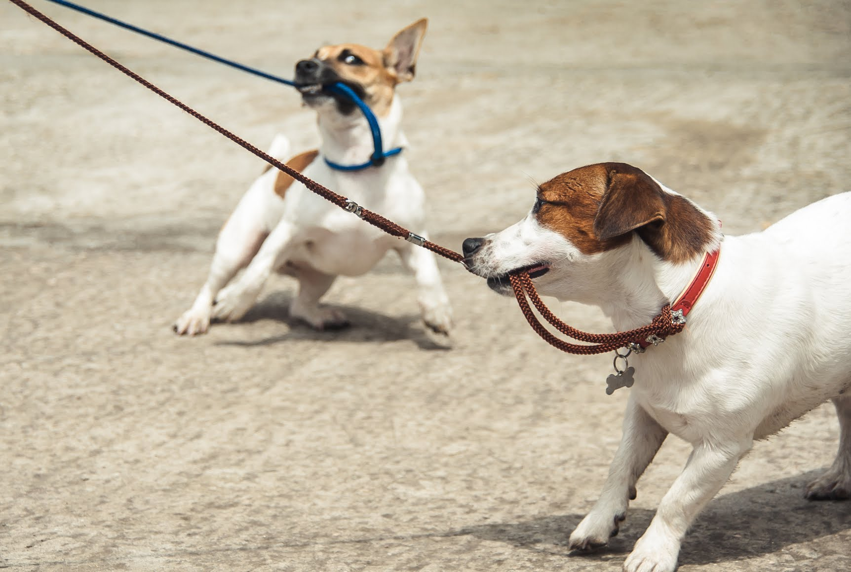 Why Do Dogs Pull On Their Lead