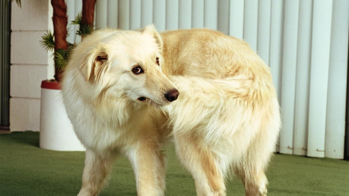 Why Do Dogs Chase Their Tails Dogopedia