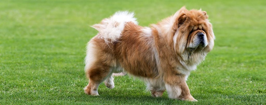 What Is The Oldest Dog Breed 25 Ancient Dog Breeds Dogopedia