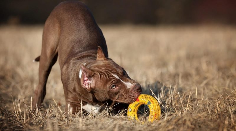 Best Indestructible Dog Toys for Pitbulls