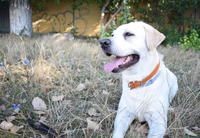 The Best Dog Shoes for Labradors – 2020
