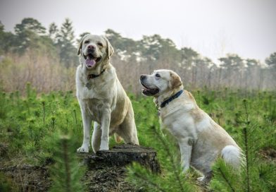 How to Train a Labrador to Speak on Command