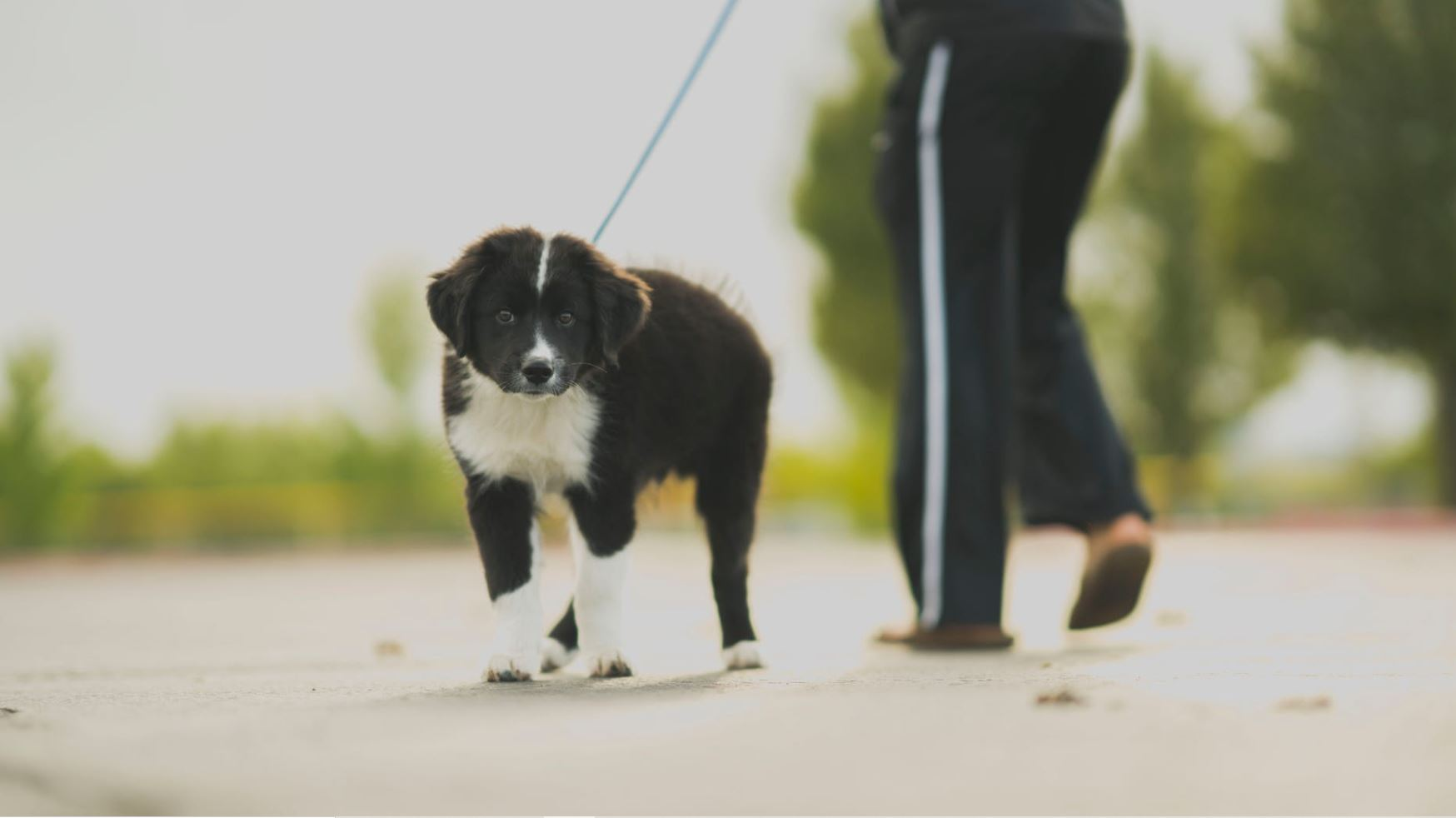 When Is The Best Time To Start Training A Border Collie Dogopedia